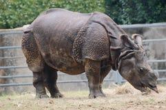 Den indiska noshörningen (noshörningunicornis) har endast ett horn Royaltyfri Fotografi