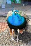 Den indiska påfågeln Royaltyfri Foto