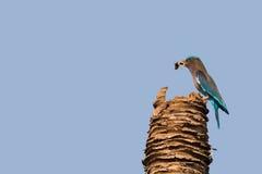 Den indiska rullfågeln i blått fångar och rymmer gemensam betw för den gröna grodan Arkivbild