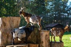 Den inhemska geten, Capraaegagrushircus i parkerar fotografering för bildbyråer
