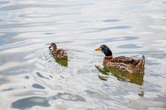 Den inhemska gräsandet duckar simning i dammet Arkivbild
