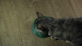 Den inhemska gulliga katten äter mat stock video