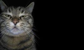 Den inhemska ilskna katten bryter den fjärde väggen och ser tittaren, på en svart bakgrund En dyster sömnig kattunge Roligt tysta fotografering för bildbyråer