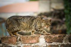 Den inhemska katten klättrar väggen Arkivbild