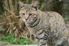 den intresserade katten isolerade looken skjuten sittande studiowhite Fotografering för Bildbyråer