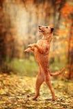 Den irländska Terrier står på dess bakre ben trick fotografering för bildbyråer