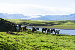 Den Island hästen eller även den kallade isländska hästen för isländare, är Arkivbilder