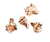den isolerade bakgrundssamlingen shells white Fotografering för Bildbyråer
