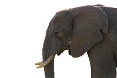 Den isolerade elefanten profilerar Royaltyfri Fotografi