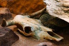 Den isolerade för dödorm för orm skelett- head skelett- viten för svart för djur för bakgrund för skalle för ben Royaltyfri Bild
