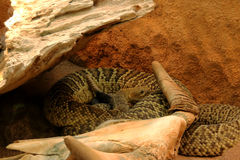 Den isolerade för dödorm för orm skelett- head skelett- viten för svart för djur för bakgrund för skalle för ben Royaltyfria Foton