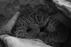 Den isolerade för dödorm för orm skelett- head skelett- viten för svart för djur för bakgrund för skalle för ben Royaltyfria Bilder