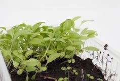 Den isolerade odlingen av medicinsk tobak Arkivfoton