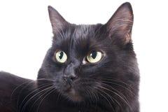 den isolerade svarta katten tystar ned Royaltyfria Bilder