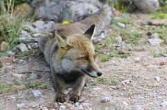 Den italienska räven i det Uccellina djurlivet parkerar. Grosseto Tuscany, Italien fotografering för bildbyråer