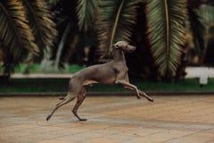 Den italienska vinthunden i palmträd kör och hopp fotografering för bildbyråer