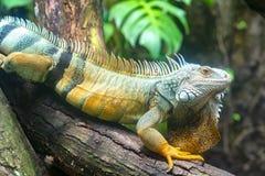 Den jätte- leguanståenden vilar i zoo Arkivbild