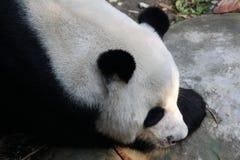 Den jätte- pandan är i lekplatsen royaltyfri fotografi
