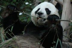 Den jätte- pandan är i lekplatsen royaltyfria foton