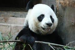 Den jätte- pandan är i lekplatsen royaltyfri bild
