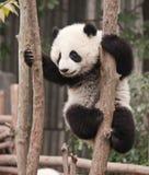 Den jätte- pandan behandla som ett barn Arkivfoton