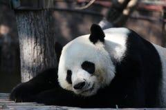 Den jätte- pandan sover i lekplatsen royaltyfri foto