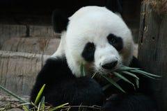 Den jätte- pandan sover i lekplatsen arkivbild
