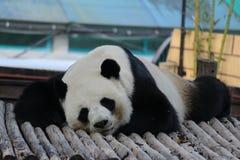 Den jätte- pandan sover i lekplatsen royaltyfri fotografi