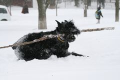 Den jätte- schnauzeren kör galopp med en aport i snö royaltyfria bilder