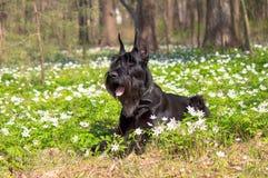 Den jätte- schnauzeren lägger bland vårblommor Fotografering för Bildbyråer