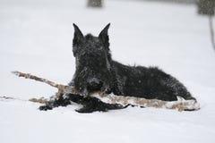 Den jätte- schnauzeren ligger med en apportpinne i snö arkivfoton
