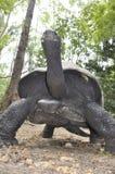 Den jätte- sköldpaddan i Haller parkerar i Mombasa, som har varit renaturat Royaltyfri Fotografi