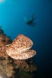 Den jätte- svampen (den Petrosia lignosaen) är infödd till Gorontalo, Indonesien Dess växer upp till 3 meter höjd Dess kallade Sa Arkivfoto
