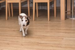 Den Jack Russell Terrier hunden går i lägenheten royaltyfri foto
