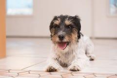 Den Jack Russell Terrier hunden ligger på golvet framme av en vit dörr och är är att vänta på går arkivfoton