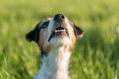 Den Jack Russell Terrier hunden ser upp framme av en gr?n ?ng som bakgrund royaltyfria bilder