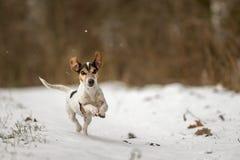 Den Jack Russell Terrier hunden springer fastar över en snöig vinterbana royaltyfri foto