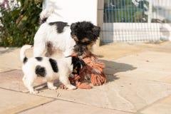 Den Jack Russell Terrier valpen spelar med hans moder Hund 7,5 gamla veckor royaltyfri fotografi