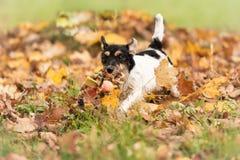 Den Jack Russell Terrier vovven kör över höstsidor i en äng arkivfoton