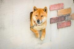 Den japanShiba hunden sitter i staket arkivfoton