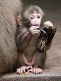 Den japanska apan behandla som ett barn Arkivbilder