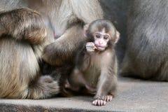 Den japanska apan behandla som ett barn Arkivfoton