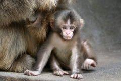 Den japanska apan behandla som ett barn Royaltyfria Bilder