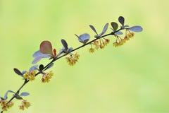 Den japanska barberryen, Thunbergs barberry, blommar Berberisthunbergii Royaltyfria Bilder