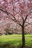Den japanska blomningen för det körsbärsröda trädet parkerar den Danmark våren Royaltyfri Foto