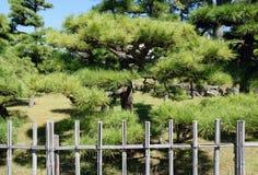 Den japanska bonsai sörjer trädet Arkivfoto