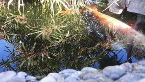 Den japanska karpen i vatten, japan KOI Carp svävar i ett dekorativt damm Den utsmyckade karpen eller Koi Fish är röda, orange, v stock video