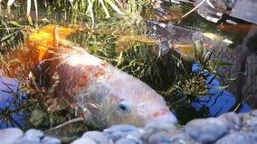 Den japanska karpen i vatten, japan KOI Carp svävar i ett dekorativt damm Den utsmyckade karpen eller Koi Fish är röda, orange, v lager videofilmer