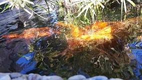 Den japanska karpen i vatten, japan KOI Carp svävar i ett dekorativt damm Den utsmyckade karpen eller Koi Fish är röda, orange, v arkivfilmer