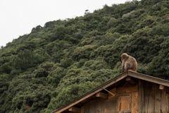 Den japanska Macaqueapan sitter på taket av ett trähus med bergdjungeln bak henne Royaltyfria Foton